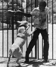 samuel fuller perro blanco movie cine dog white